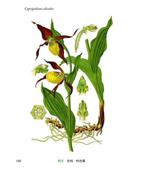 奥托手绘彩色植物图谱(附奥托签章版手绘图)