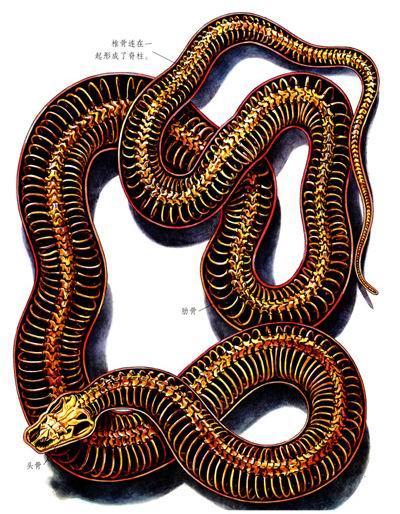 蛇的身体构造是怎样的? 蛇是怎样看,听和闻的? 蛇为什么要蜕皮?