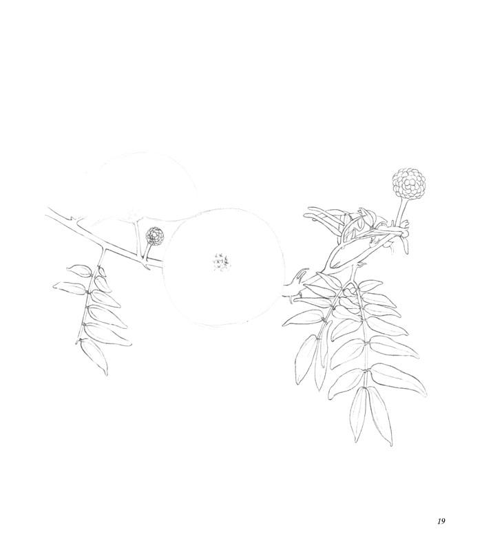 桂花树叶手绘黑白图