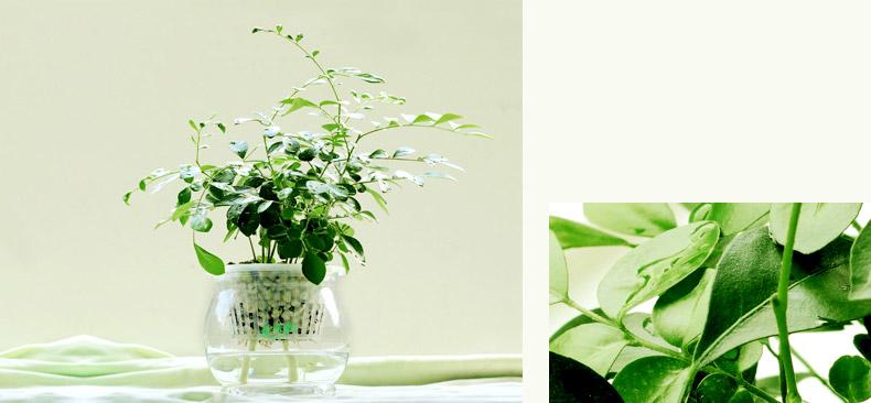 九里香 办公室内盆景花卉水培绿色植物
