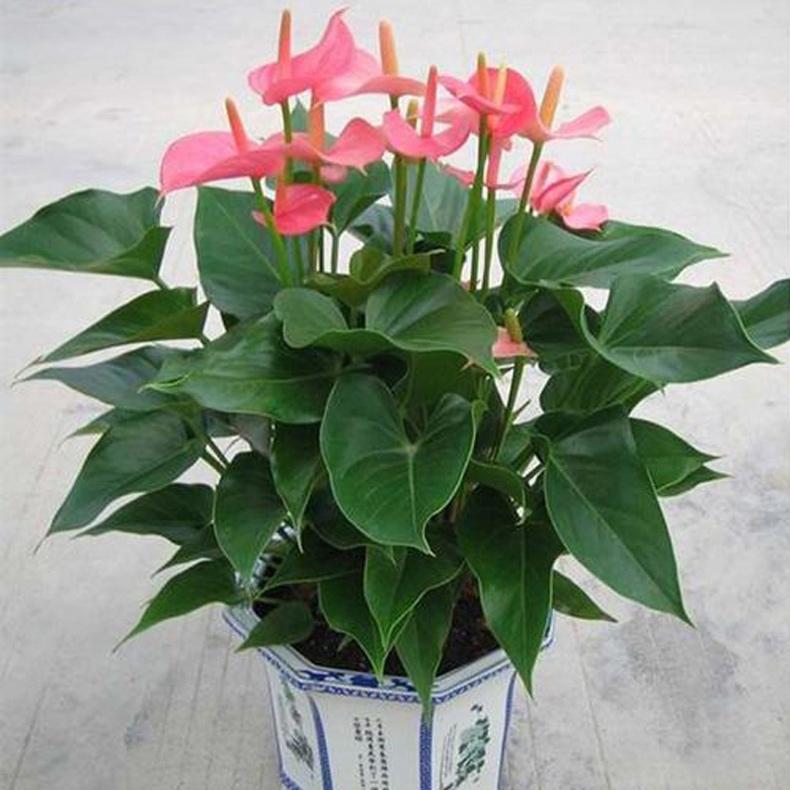 名 绿植-辫子发财树a 花 材 一株枝叶茂盛上等的辫子发财树,赠送花盆
