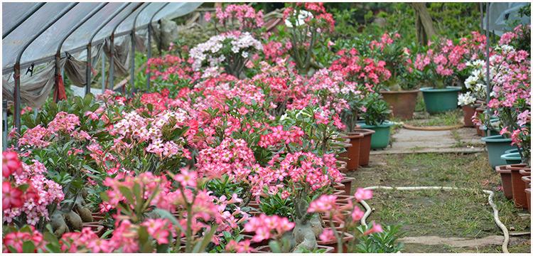花卉知识_花卉与花卉装饰画_花卉猫花卉交易平台