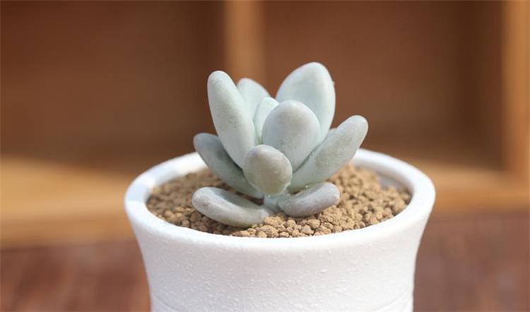 千特白美人姬星多肉植物 含盆