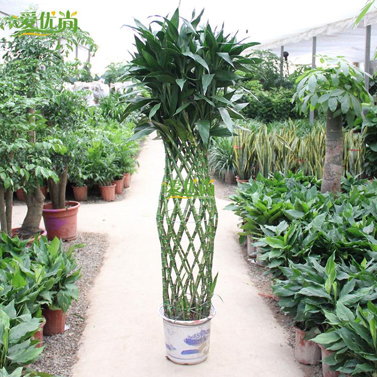 【爱优尚】富贵竹笼 绿植 盆栽 园艺休闲 办公室植物