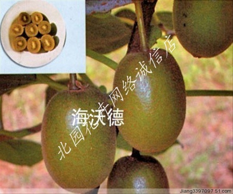 海沃德猕猴桃苗图片