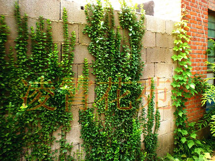 四季常青爬山虎攀援花卉 小叶扶芳藤 爬行卫矛庭院爬藤植物 推荐三年图片