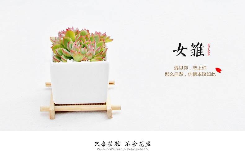 【多肉_ 女雏】多肉植物盆栽花卉 多肉植物盆栽组合 花卉绿植 盆栽