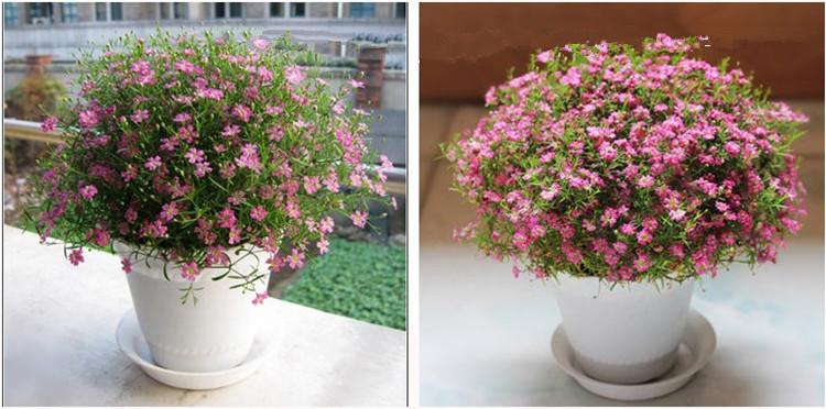 ld 满天星花种子多个颜色300粒装观赏花卉阳台庭院盆栽种植 3.