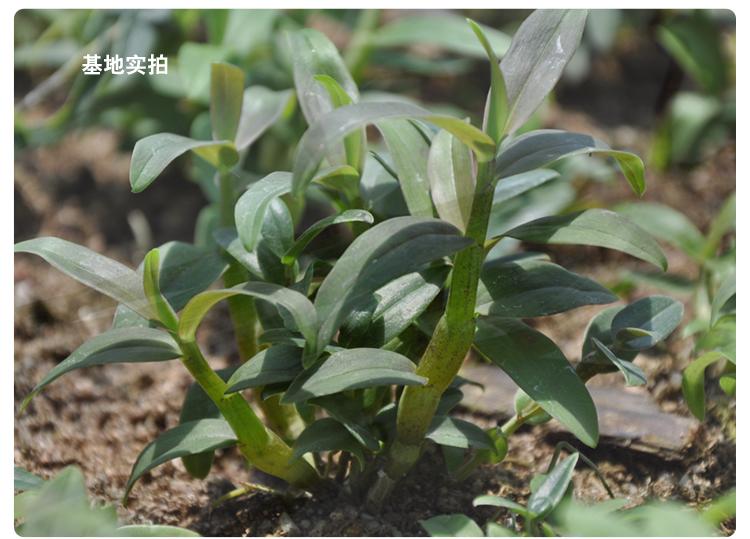茶叶树盆栽 盆景展示