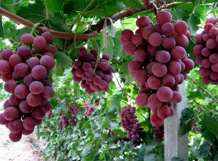 【树葡萄适合种植地区】