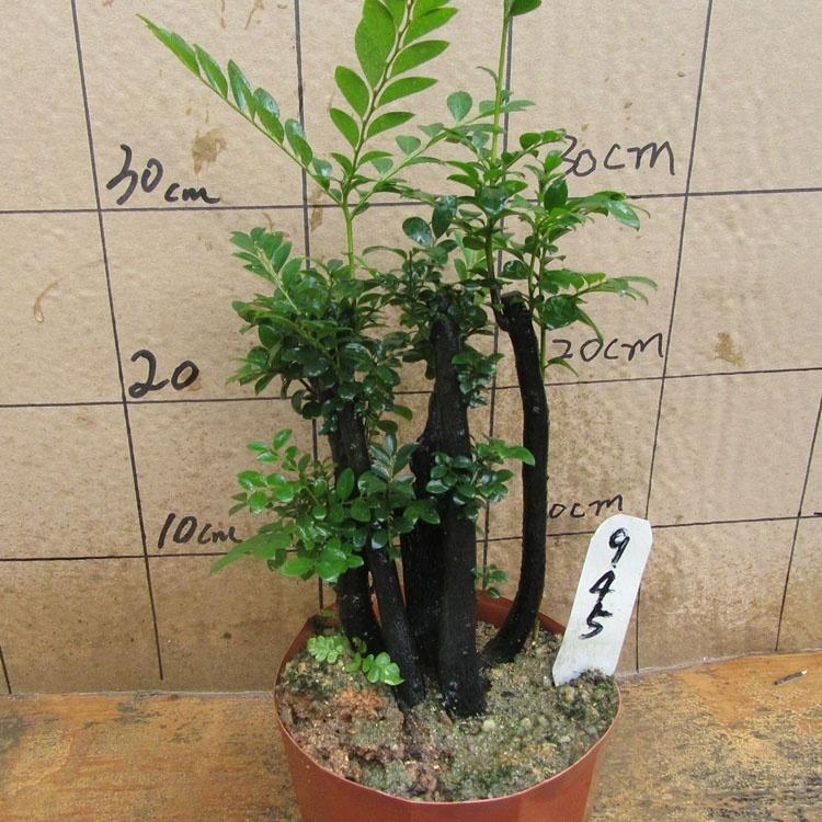 檀香木能种在家里吗 这种植物长的快不 哪种檀香木好