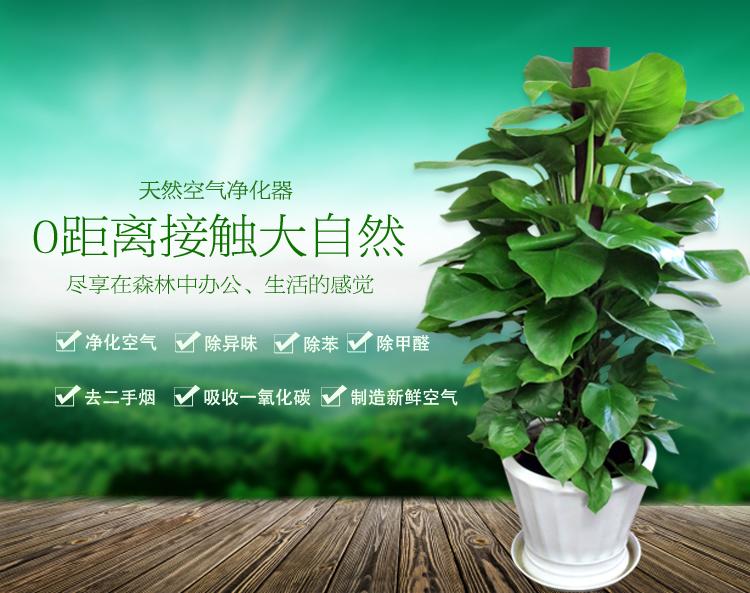 花语传情/室内客厅 大型盆栽 植物花卉绿植盆景大叶绿萝 吸甲醛净化