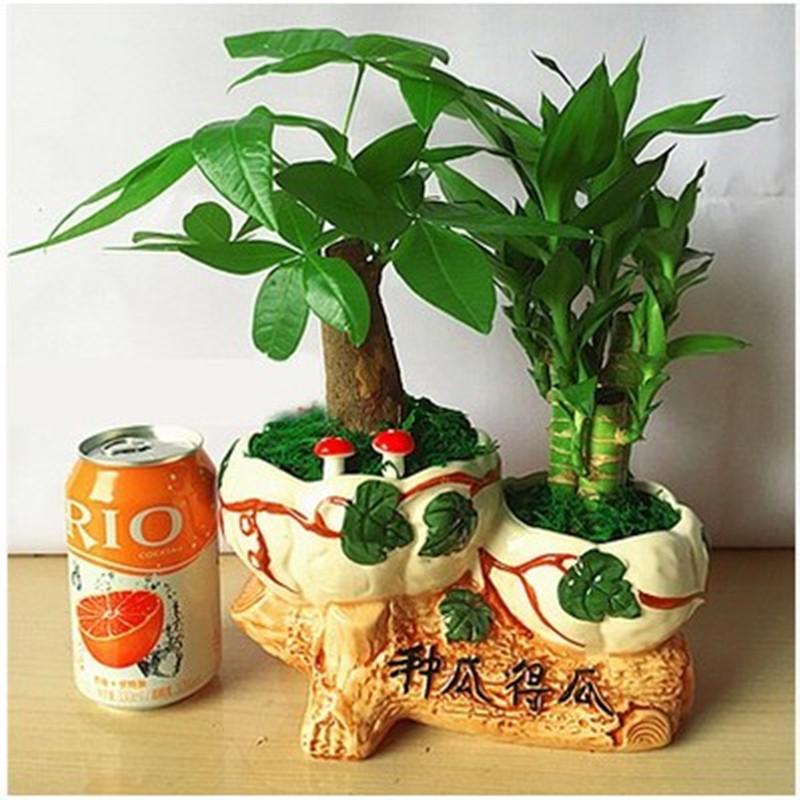 发财树 富贵竹组合盆栽套装 富贵招财植物寓意盆栽 好运吉祥送礼 清雅