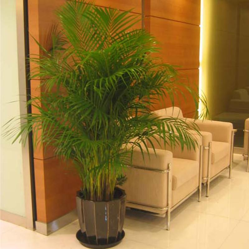 盆栽/苗木 观叶植物 兰竹轩 兰竹轩大型客厅室内盆栽绿植花卉袖珍椰子