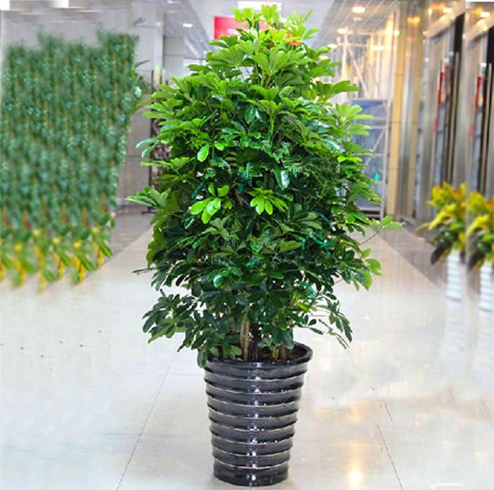 春曲 鹅掌柴/鸭掌木/鸭脚木 室内客厅 大型植物盆景花卉 盆栽苗 一盆