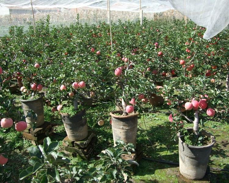 逍遥庭院盆栽地栽 苹果树苗盆栽 2-8年苗 品种齐全 红