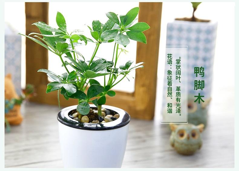 发财树绿萝绿箩文竹水培植物绿植盆栽办公室内盆景 白