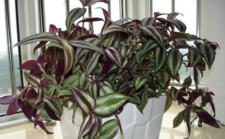淘花源记 室内苗木绿化环境植物花卉盆栽 土培/水培吊兰品种多选 金心
