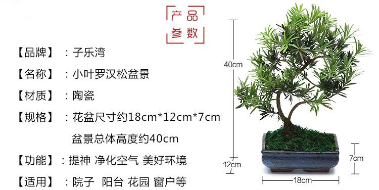 绿植小叶罗汉松盆栽室内花卉盆景树桩榆树办公室防辐射绿色植物 小叶