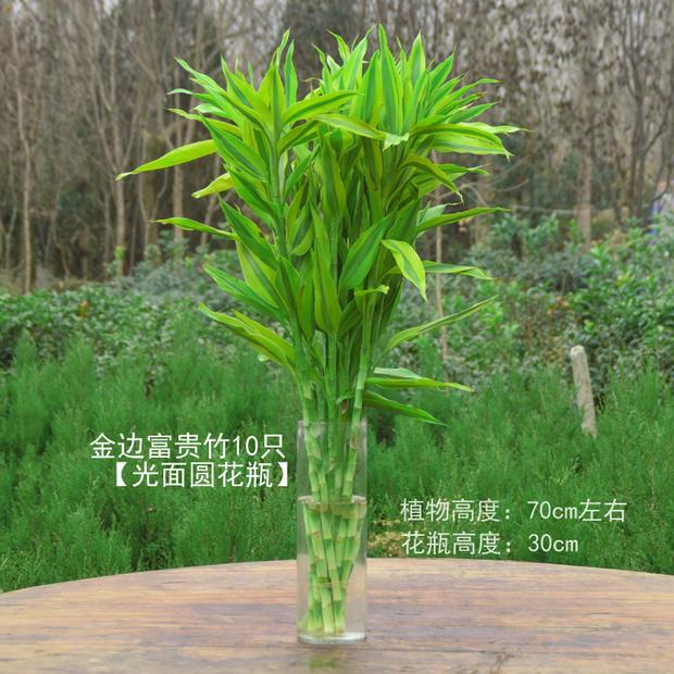 景尚花 富贵竹 龙竹多头竹 直竹转运竹水培植物盆栽竹子 观音竹开运竹