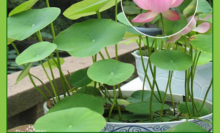 莲花种子水生