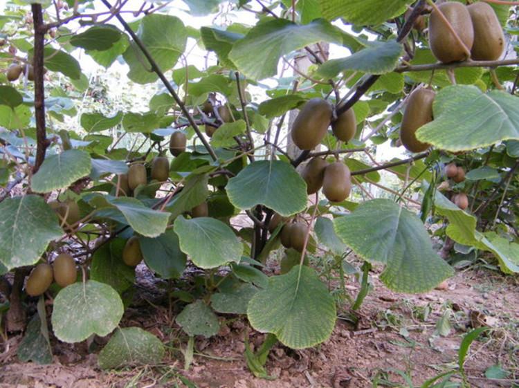 猕猴桃树苗 果树苗 奇异果 爬藤果树 水果树 庭院种植图片