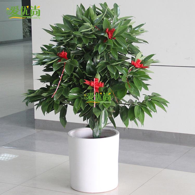 玉桂大型绿植
