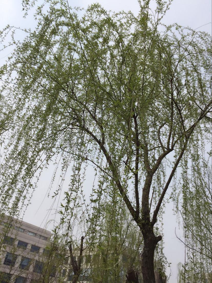 春天来了 河岸的柳树发起了新芽 随着微风 枯黄的草地也开始换起了