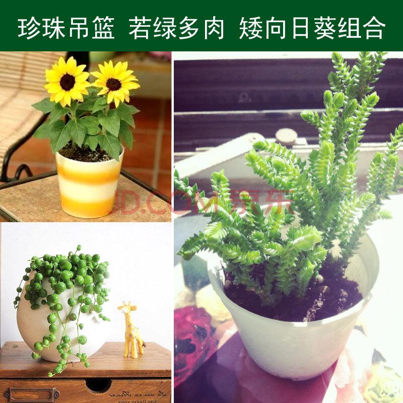 津沽园艺 家庭美观组合盆栽 多肉植物种子组合 珍珠吊兰1棵 若绿1棵