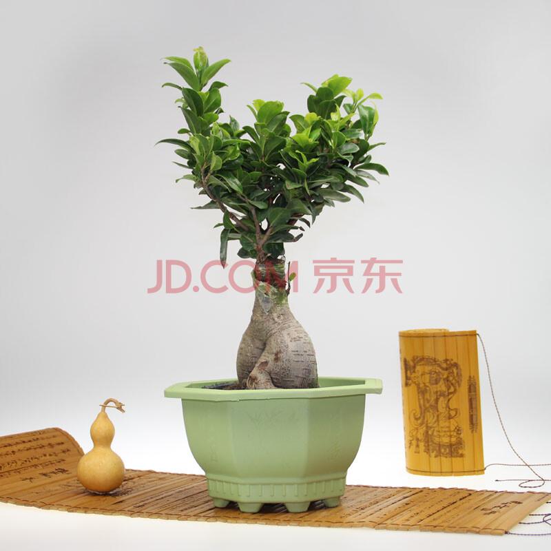 花勿缺(大榕树盆栽—)植物盆景办公室 防辐射 吸甲醇