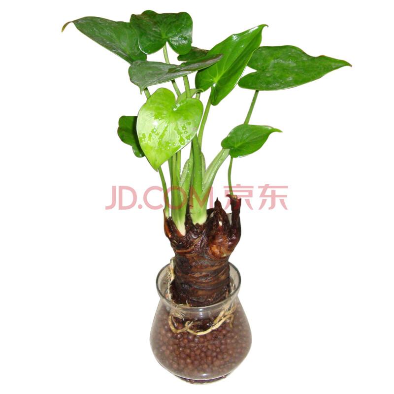 千手观音植物图片_WWW.JXZHLYW.COM