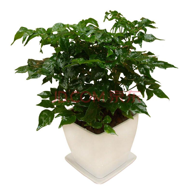 净化空气 盆栽植物 绿色植物 室内植物/高档礼品花卉 l1251仿瓷花盆