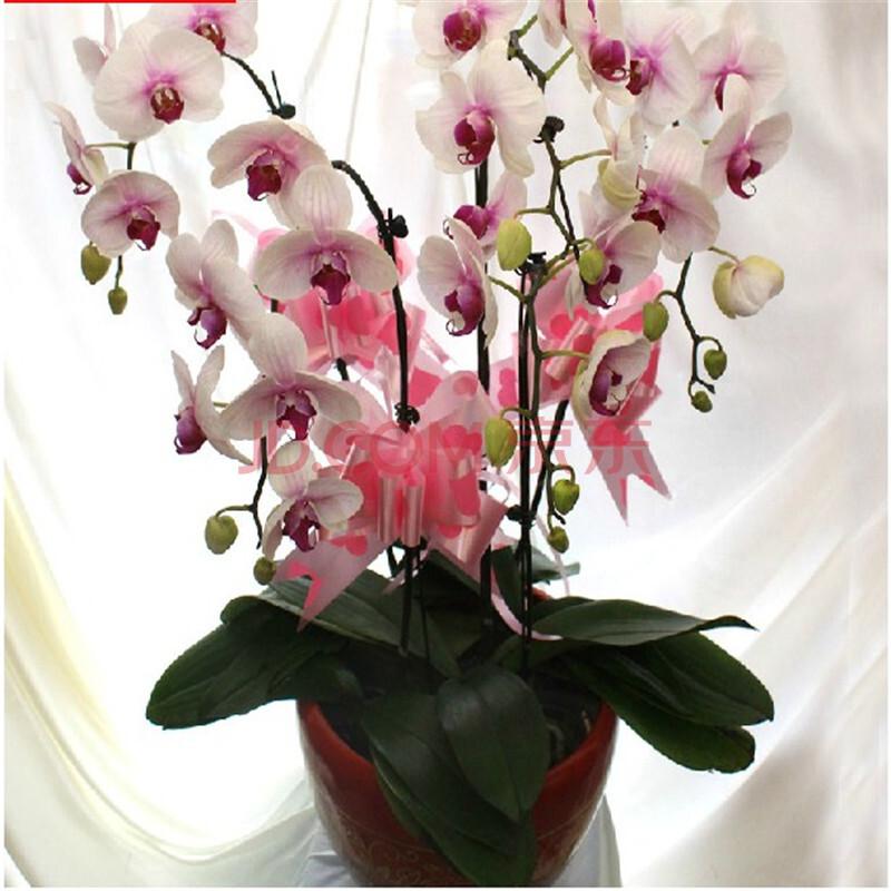 鲜花5枝白色蝴蝶兰