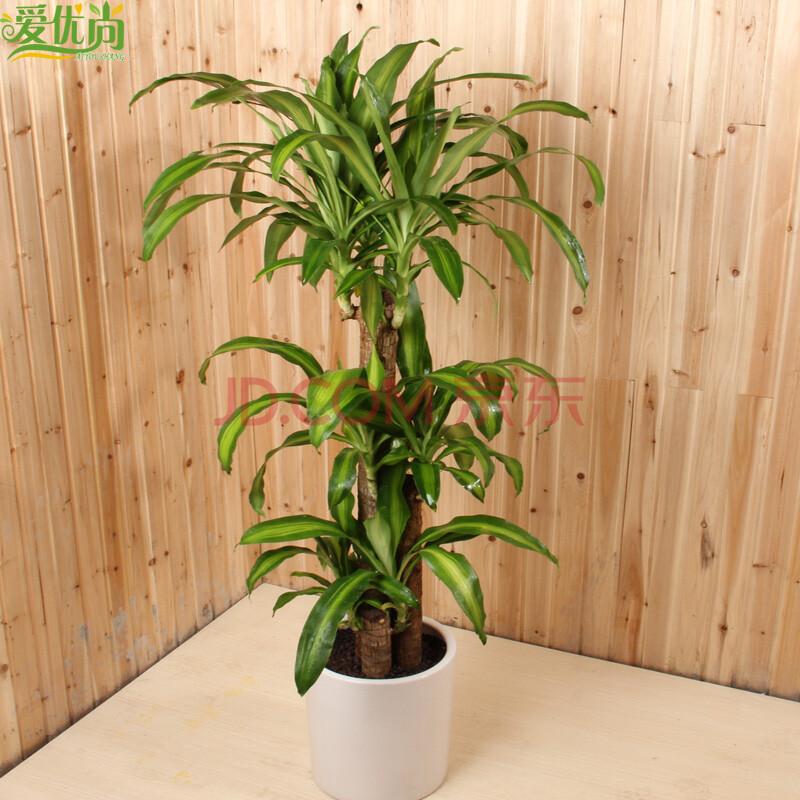 大型盆栽植物图片