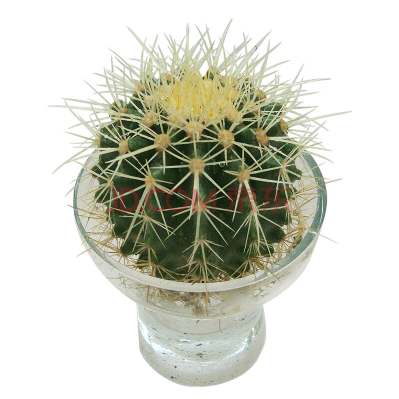 水培小金虎/仙人掌盆栽/室内植物/高档礼品花卉