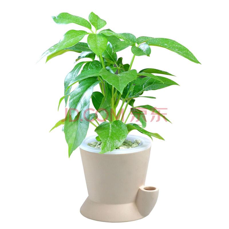 招财树盆栽 高清图片