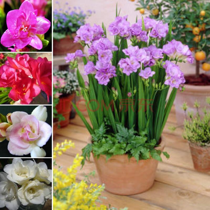 冬季盆栽花卉 荷兰进口香雪兰小苍兰种球 五个品种组合装(5个装)每个