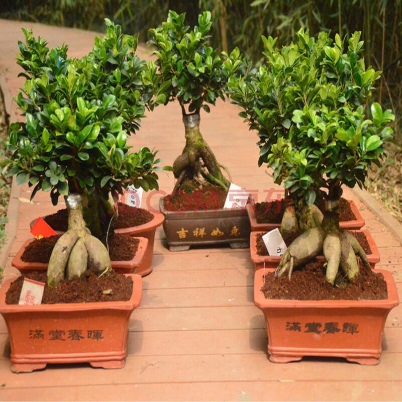 橡树庄园榕树 人参榕树盆景 气根榕树大盆栽盆景定制选款植物绿植 a09