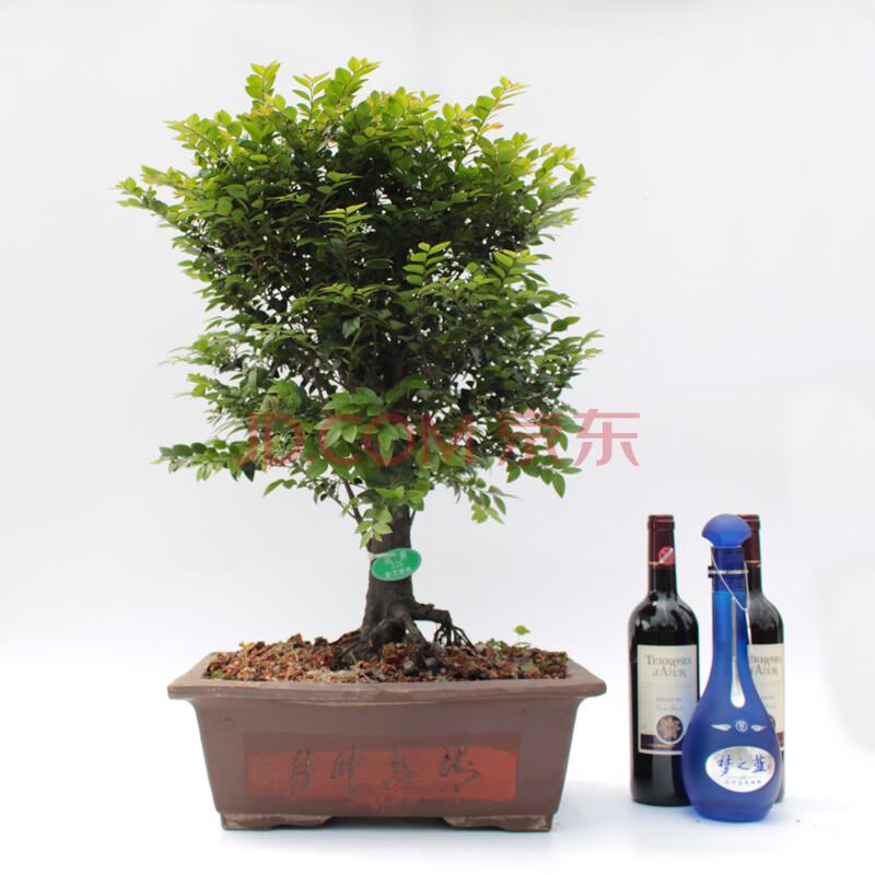 xinyi中大型办公室内盆栽绿植小叶紫檀盆景树桩高档室内盆景 一物一拍图片