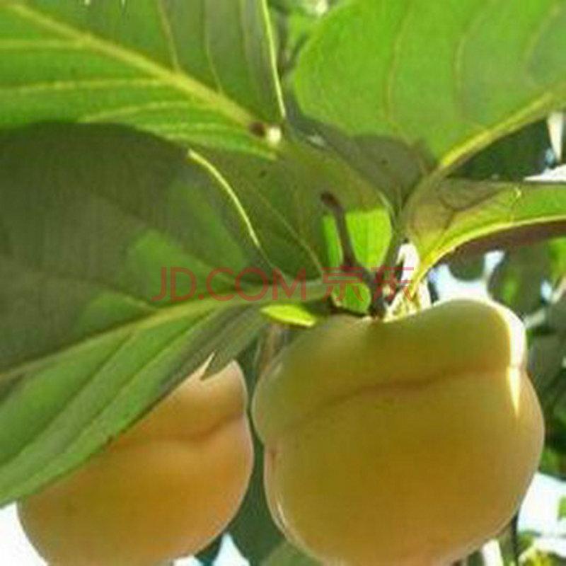 卉之乡 热卖 柿子树苗 果树苗 盆栽地栽 柿子树苗 当年结果 南方北方