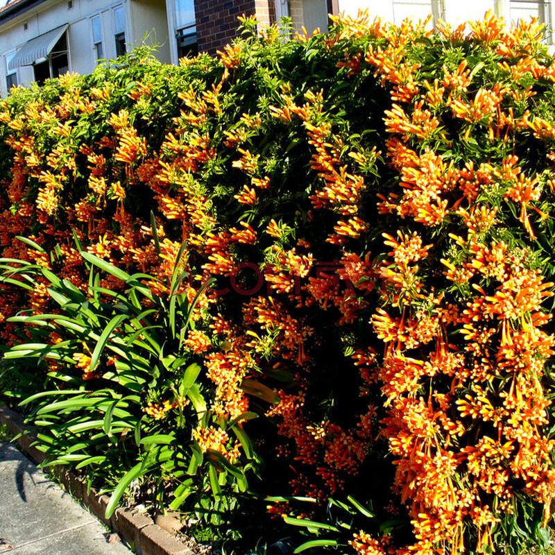 盆栽/苗木 观叶植物 卉之乡 阳台绿化攀缘 美国凌霄花 生长速度快