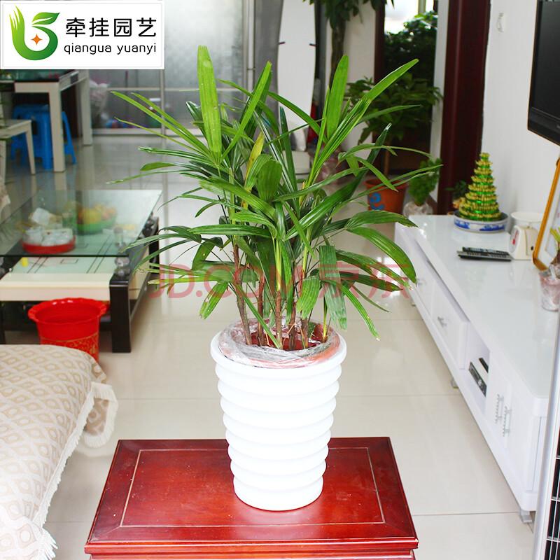 棕竹盆栽花卉盆景室内绿植物办公室书房桌面电脑旁招财树.