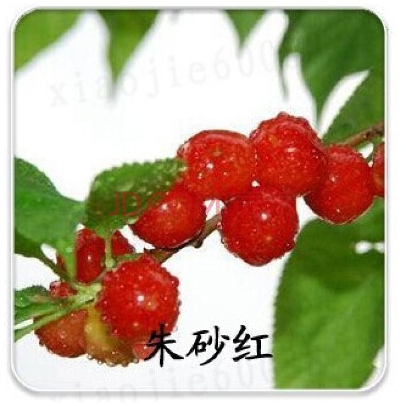 卉之乡热卖果树苗 嫁接樱桃树苗 红缨 车厘子盆栽/地栽南方北方种植当