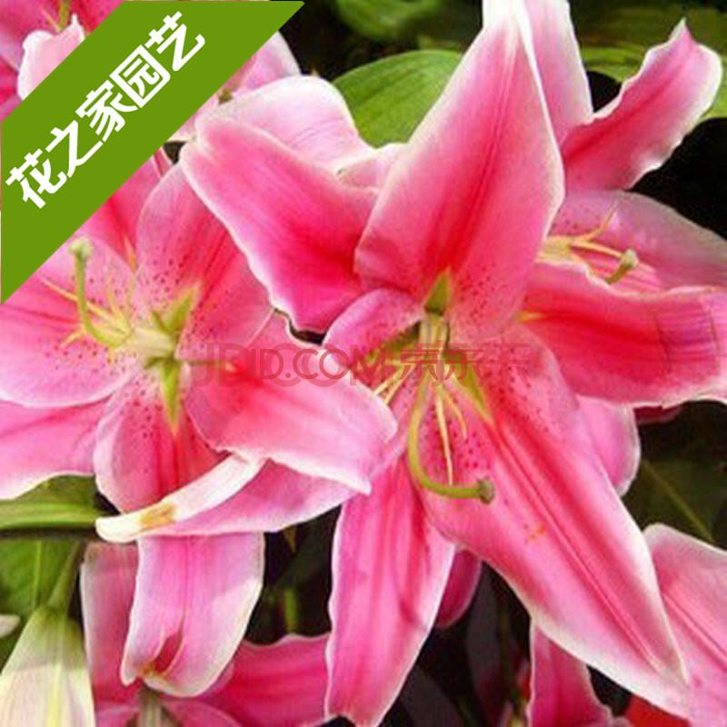 室内盆栽植物 观花植物种子