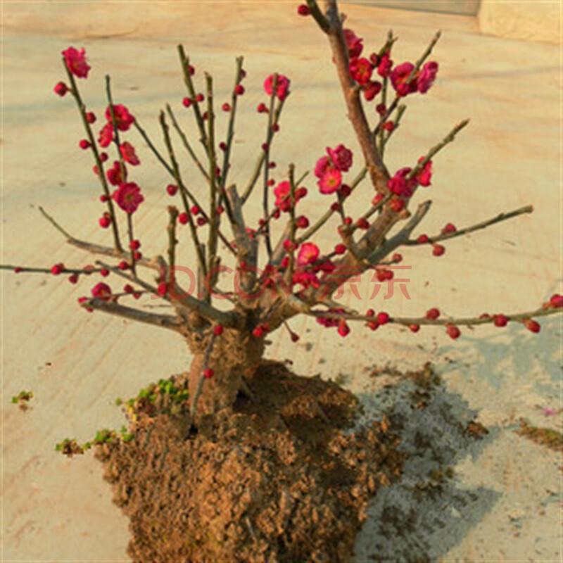 逍遥园艺 盆栽盆景花卉红梅花苗树桩盆景红梅腊梅盆栽梅花当年开花