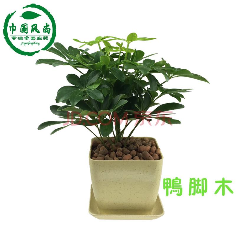 四季常青盆栽花卉植物鸭掌木七叶莲鹅掌柴苗鸭脚木八方来财秋季种子白图片