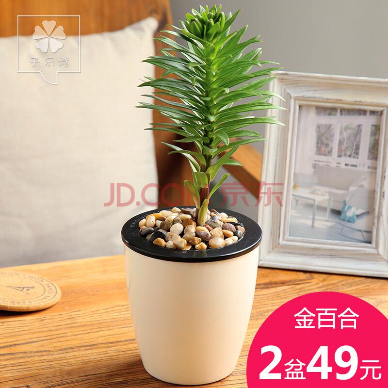 百合花绿植盆栽花卉室内水培植物花苗办公桌面盆景百合花球小盆栽
