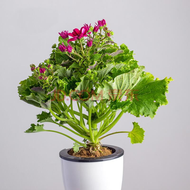 满城花 瓜叶菊 盆栽 小植物盆景 室外阳台室内客厅办公室绿植花卉