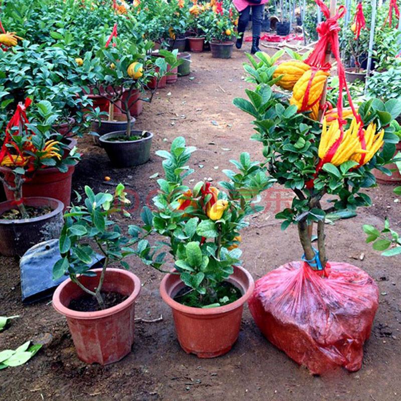 盆栽/苗木 苗木 沭沐 室内外庭院种植盆栽花卉植物 佛手苗 金佛手 千