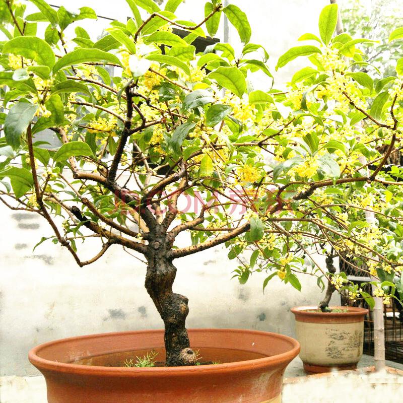 丹桂树苗室内盆栽桂花四季桂花树苗金桂花苗盆 底径5公分